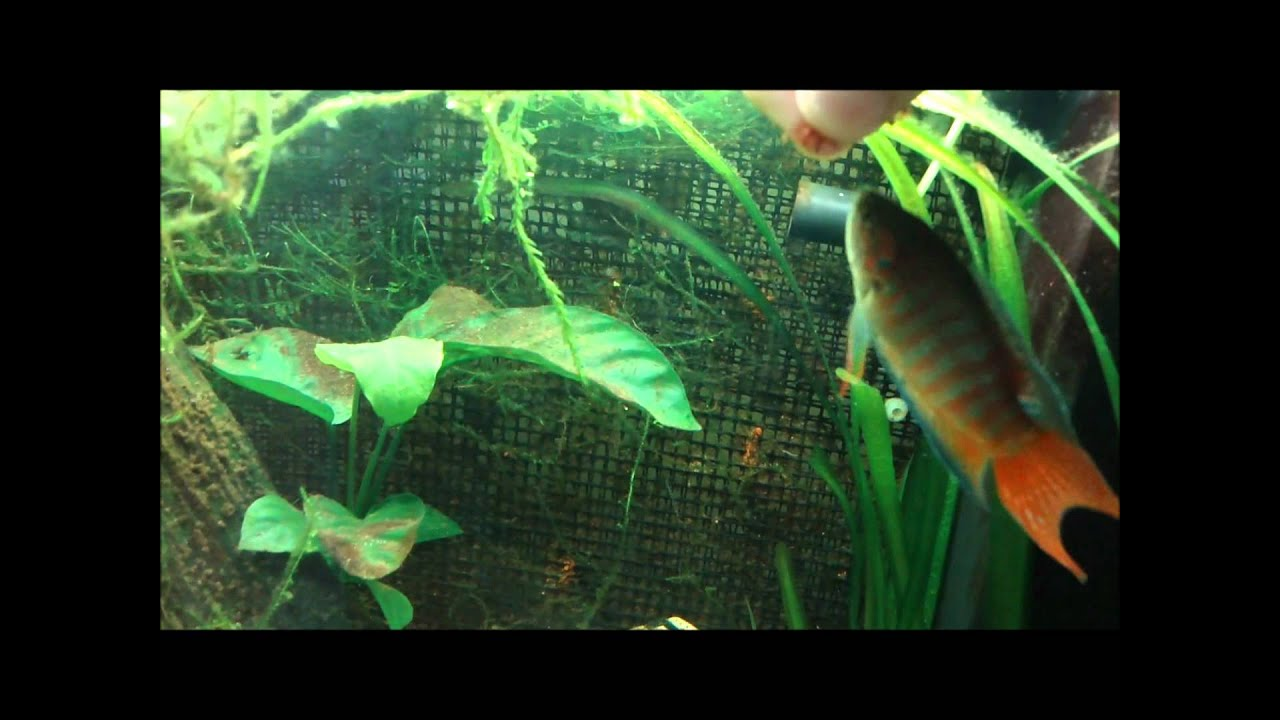 Feeding fish bloodworms youtube for Bloodworms for fish
