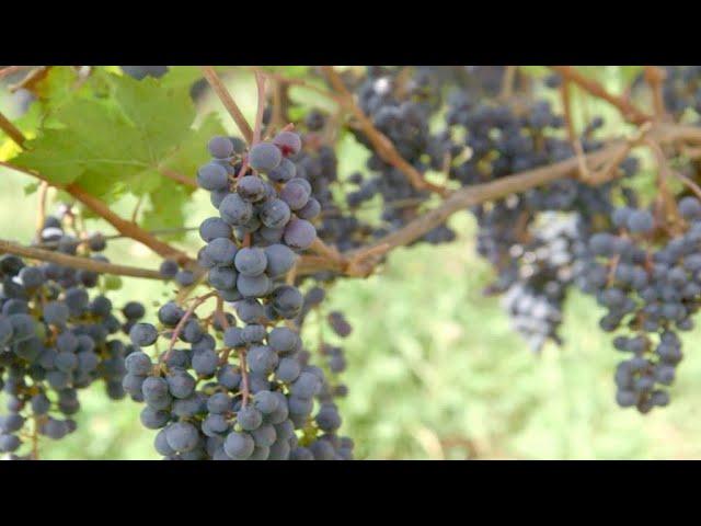 Vinos franceses amenazados por el calentamiento global (5/5)