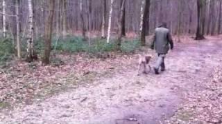 Hund Maya Weimaraner Bei Fuss Gehen Training Für Begleithundeprüfung Ohne Leine Hundeerziehung I