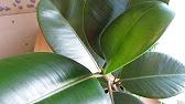 Фикус робуста / ficus robusta один из самых первых и распространенных сортов фикуса каучуконосного эластика / ficus elastica. Описание, правила.