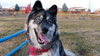 Kakoa's FIRST Trip to the Dog Park! Husky Vlog