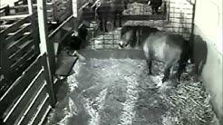 S Bar P Miniature Horses - Movetta - Foaling - 5/5/13