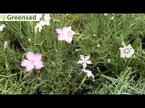 Гвоздика травянка (белый) - видео-обзор от Greensad
