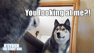 husky-sees-mirror-for-the-first-time-has-staring-match-with-himself