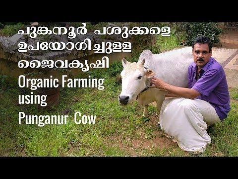 Organic Farming using Punganur  Cow - പുങ്കനൂര് പശുക്കളെ ഉപയോഗിച്ചുള്ള ജൈവകൃഷി