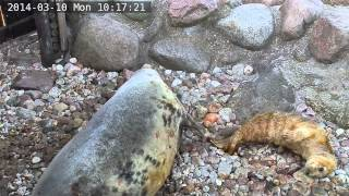 Fokarium w Helu na żywo / Webcam - Szczenię Ewy - pierwsze chwile