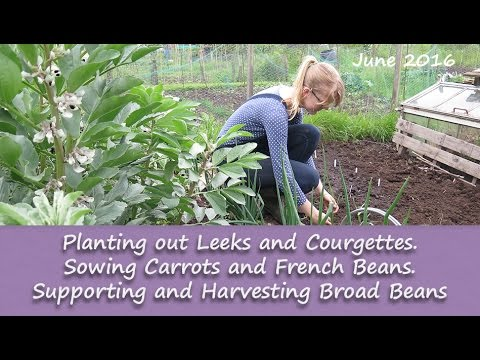 Katie's Allotment - June 2016 - Planting, Sowing and Harvesting