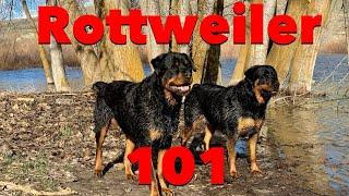Is a Rottweiler good for a first time dog owner? Are they Aggressive? Your questions answered!