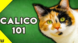 Calico Cats 101  Everything You Need To Know About Calico Cats