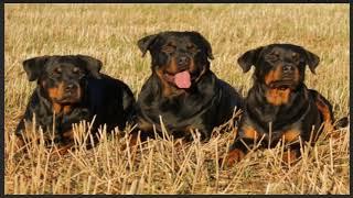 Alpine Dachsbracke dog Compilation and Mix