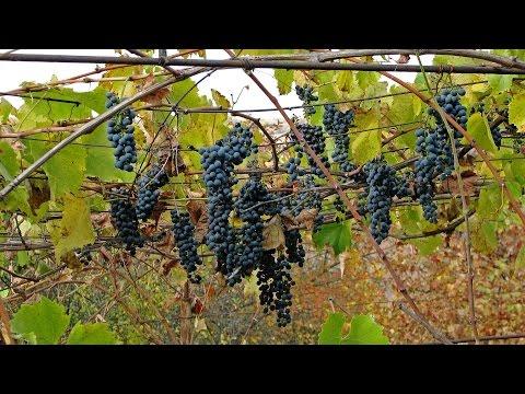 Лучшие сорта винограда списки Сады Сибири