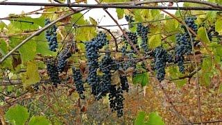 ВИНОГРАД КУДЕРКА, винный сорт(Столовое домашнее насыщенное вино темно-красного цвета, по вкусу напоминающее Каберне можно изготовить..., 2014-08-24T19:54:59.000Z)