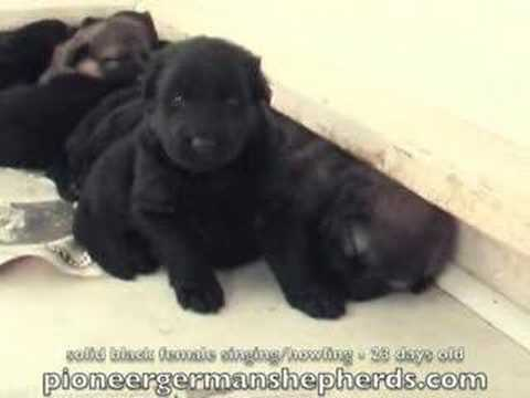 Solid Black German Shepherd Puppy Singing + Howling 23 days