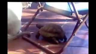 Игривая черепаха вырвала клок шерсти у кошки