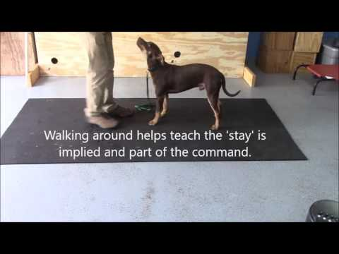 Teaching the down stay command with Tucker