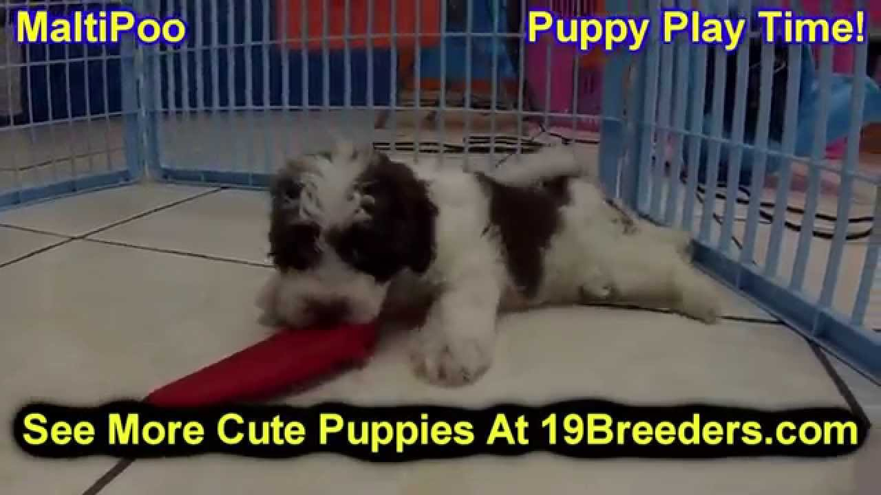 Malti Poo Puppies Dogs For Sale In Louisville