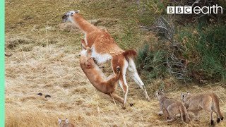Puma takes on Guanaco 3 Times Her Weight | Seven Worlds, One Planet | BBC Earth