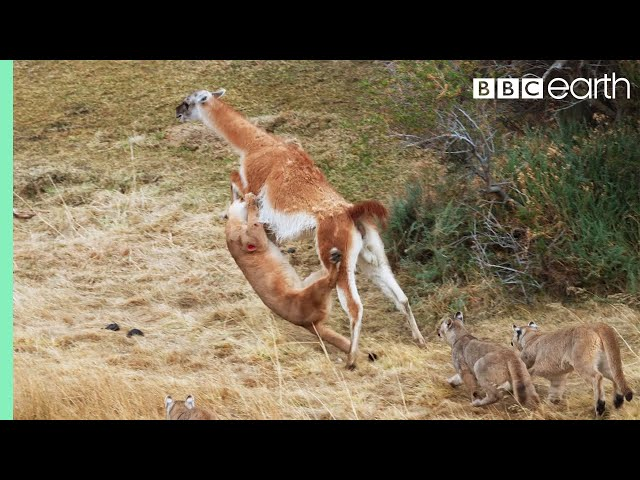 Puma takes on guanaco three times her weight   Seven Worlds, One Planet   BBC Earth