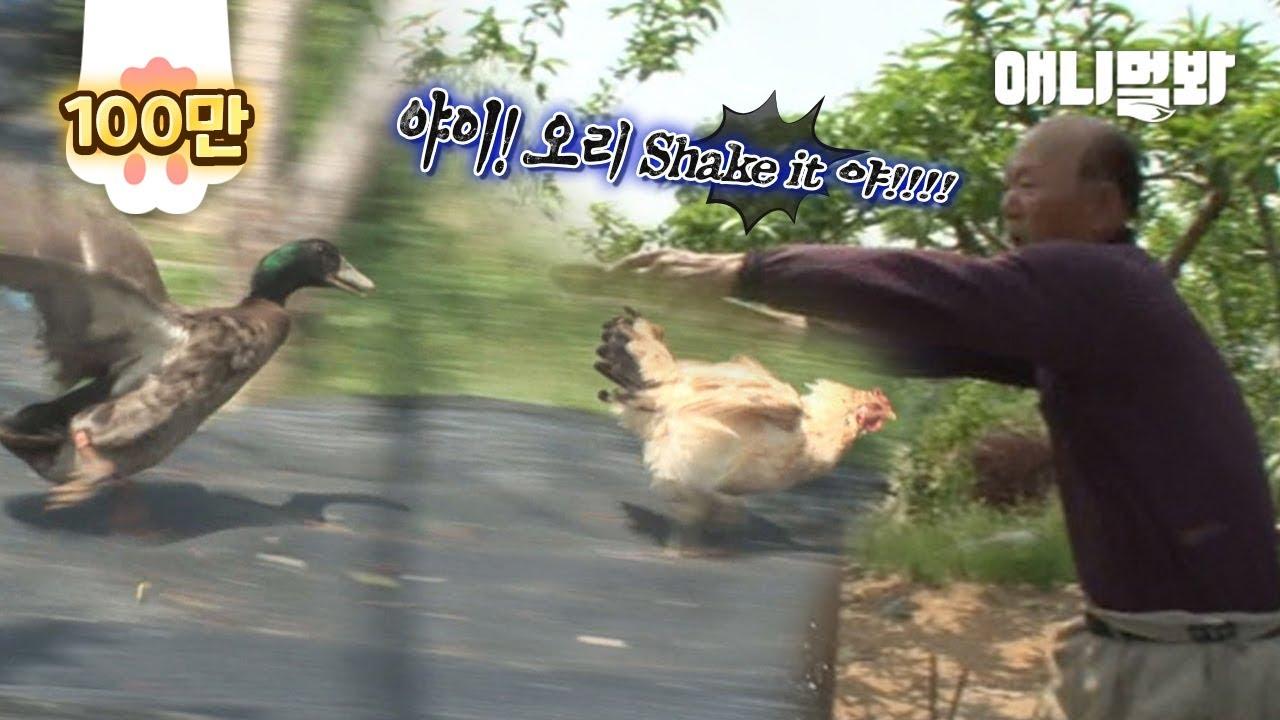 작업 걸다 여닭친 아빠한테 들켜서 물 싸대기 맞은 유부오리ㅋㅋㅣThe Last Of A Married Duck Who Flirted With A Hen