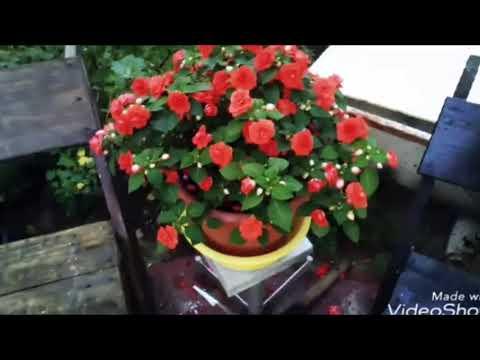 Цветы в саду Ванька мокрый