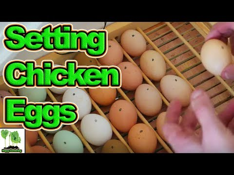 Setting Chicken Eggs In a Home Made Incubator With Automatic Egg Turner