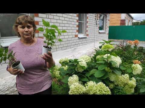 Результат черенкования гортензии-взрослые растения .