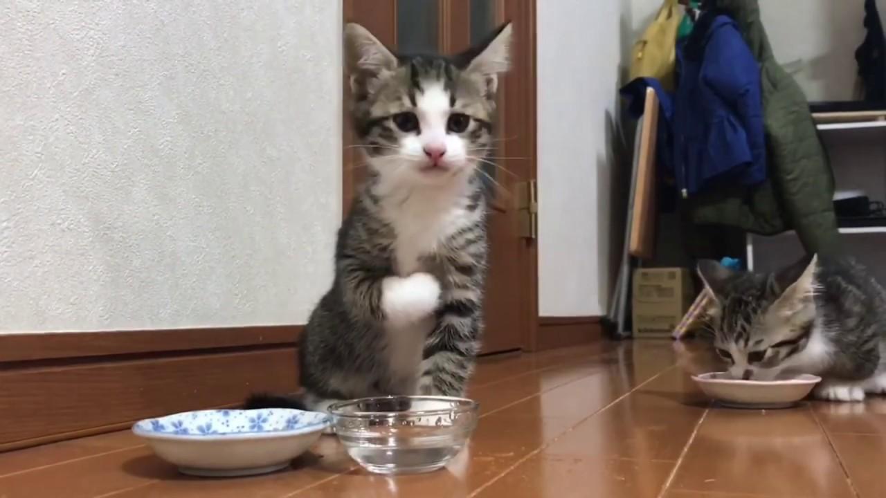 子猫 水飲み 過ぎ