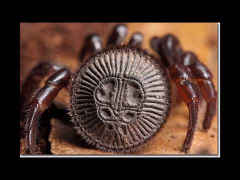 Worlds strangest Spider ever ! Cyclocosmia This spider has an ancient maya or inca temple design !!!