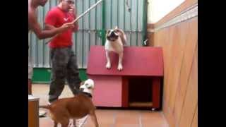 Staffordshire Bull Terrier Jumping