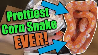 unboxing-a-scaleless-corn-snake-from-south-mountain-reptiles