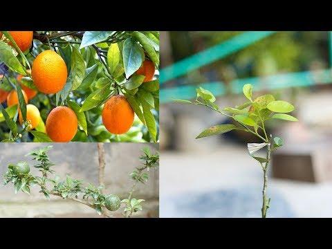 HOW TO GRAFT ORANGE BONSAI TREE