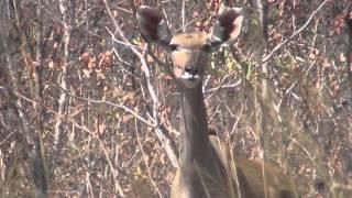 Куду лает (Kudu Barking)