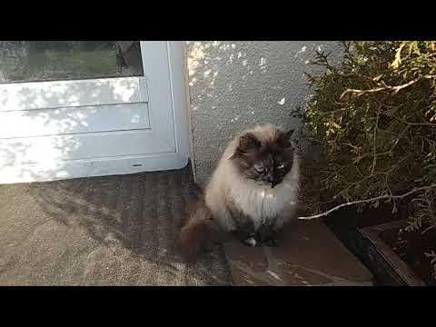 Вопрос: Может ли стерилизованная кошка загулять с котами В каких случаях?