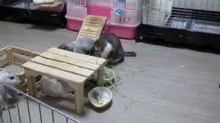 チモシー(牧草)をウサギと一緒に食べる猫【猫・キジトラ・ウサギ・ロップイヤー】