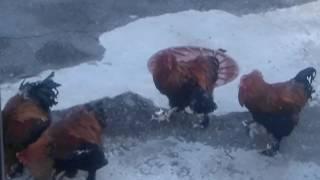 Смешные петухи. Зоопарк в Москве. Funny animals
