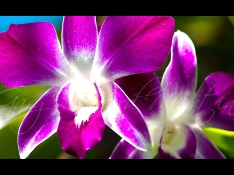 Thai ORCHID (Orchidaceae) – Bunga ANGGREK BULAN Cantik – Beautiful Flowers [HD]