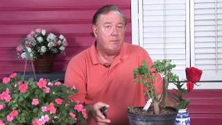 Growing Roses : How to Transplant Roses in Florida
