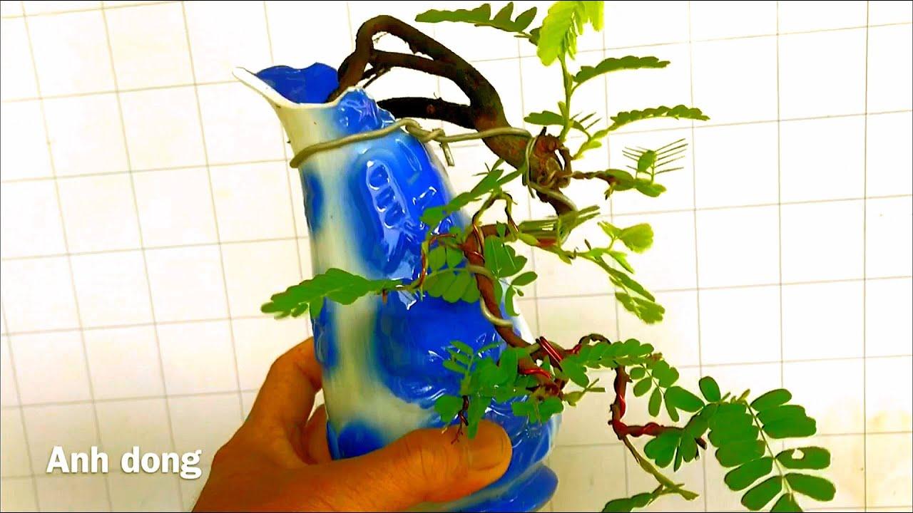 Uốn cây me bonsai mini