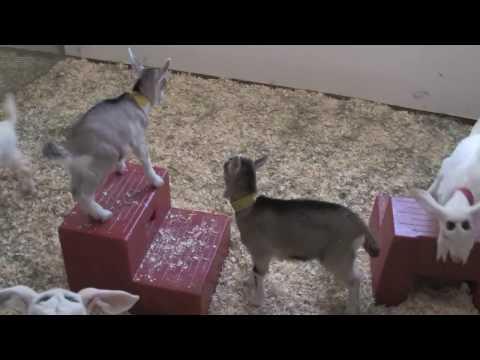 Transgenic Goats