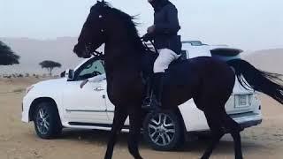 Арабская лошадь.