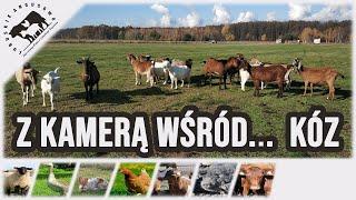 Lubuskie Angusowo - S2 E45 -  Z kamera wsrod... koz