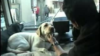 具体的なしつけ方法⇒http://sutoretti.info/aefi ラブラドール犬しつけ...