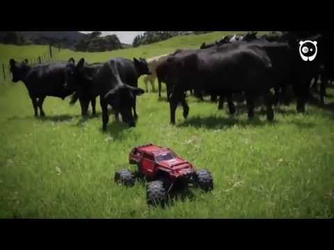 Cows are extremely curious creatures...