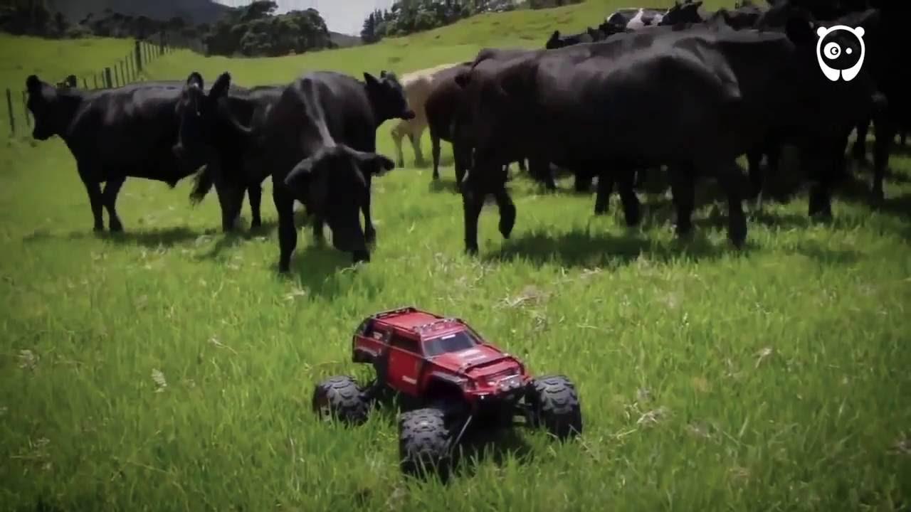 Krowy są bardzo ciekawskie nowego stworzenia