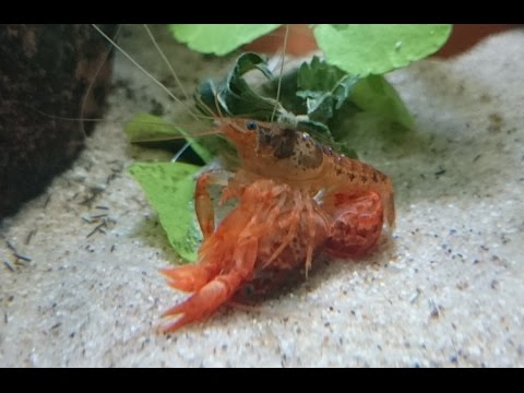 Cambarellus Patzcuarensis Orange (CPO's) Mexican Orange Dwarf Crayfish Breeding
