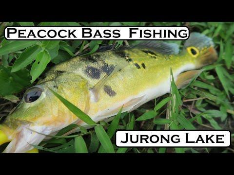 Fishing For Peacock Bass At Jurong Lake Park
