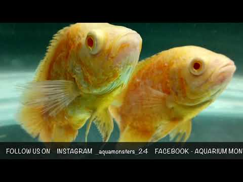 OSCAR FISH COMMON DISEASES [OSCAR SERIES EPISODE-04]