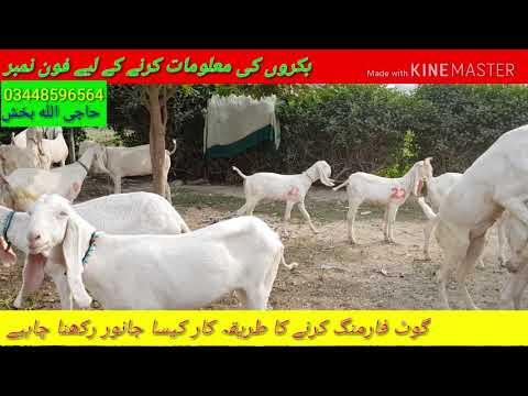 goat farming Karne Ka Tarika  Kaisa Janwar Palna chahiye
