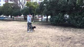2/17日に保健所からレスキューした甲斐犬の梅太くん 引張が強い犬とので...