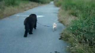 Newfoundland Dog (bagheera) Taking His Pug Brother (yoda) For His Daily A Walk.